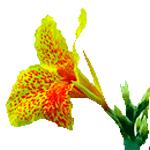 Flor-Cannas-índicas