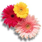 Flores-Gerbera