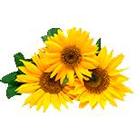 Flores-Girasol