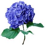 Flores-Hortensia