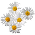 Flores-Margarita