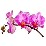 Flores-Orquidia