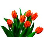 Flores Tulipan