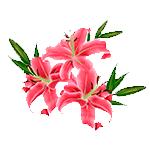 Flores-lirio