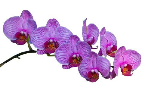 Orquidea-Flor-Colombiana