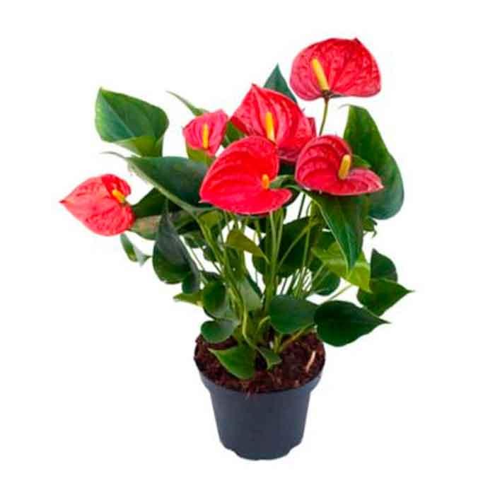 Planta-de-Anturios_floristerias en cali